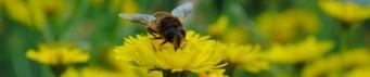 cropped-bee-on-dandeloin1.jpg