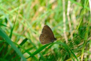 Ringlet butterfly (Aphantopus hyperantus)