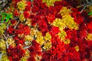 Bog mosses Sphagnum papillosum & Sphagnum magellanicum